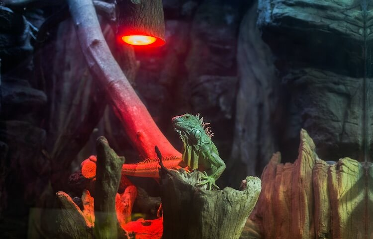 Green Iguana Basking