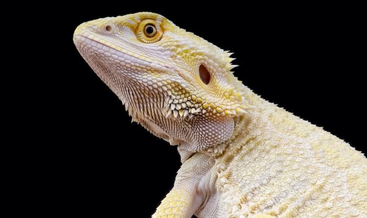 Leucistic Bearded Dragon