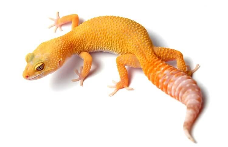 Sunglow Leopard Gecko
