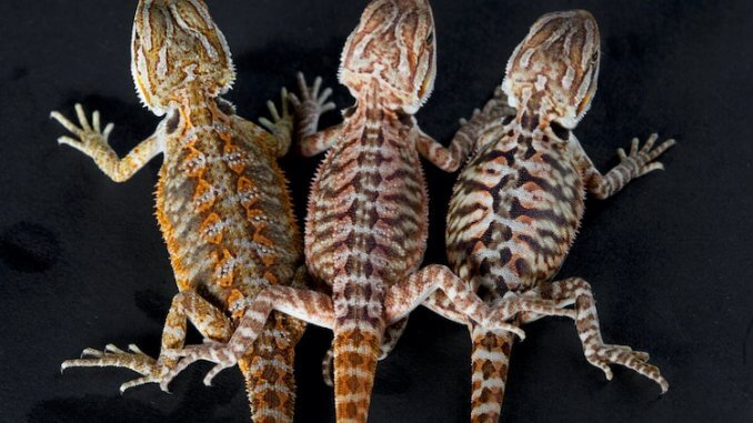 Three Types of Bearded Dragons