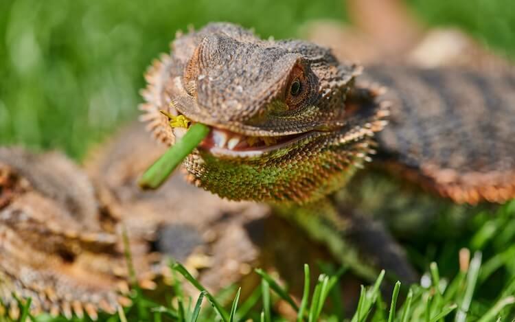 Bearded Dragon Eating A Flower