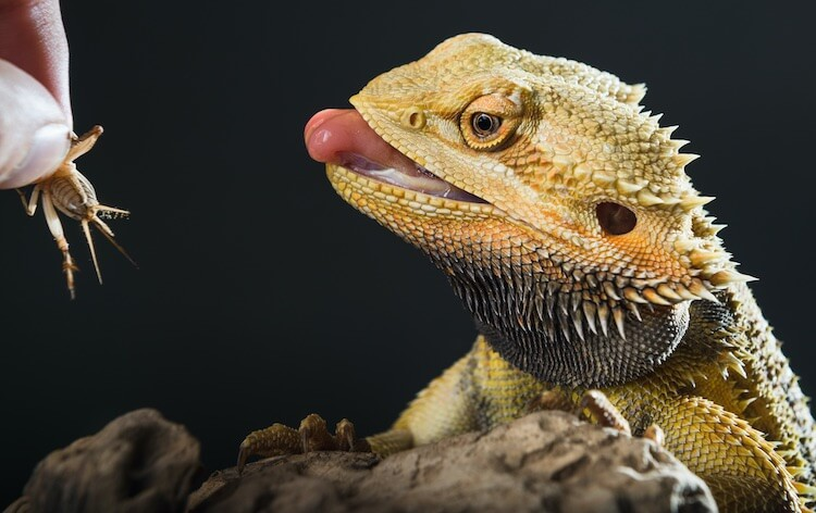 Bearded Dragon Eating An Insect