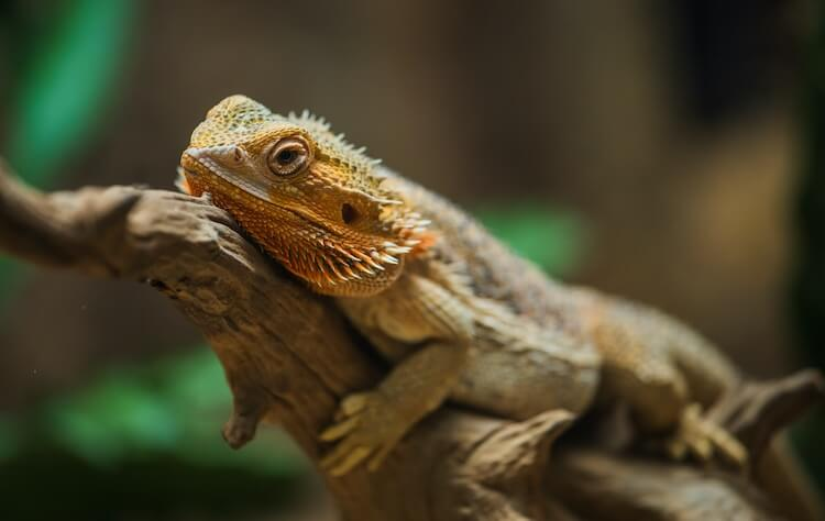 Bearded Dragon Resting