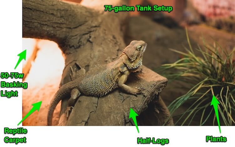 Best Bearded Dragon Setup