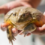 Handling A Pixie Frog