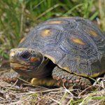Juvenile Red-Footed Tortoise In The Wild