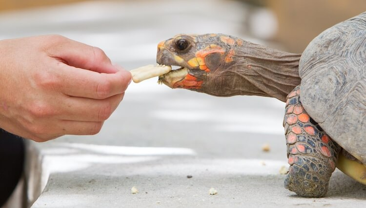 Man Feeding A Red-Footed Tortoise