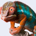 Panther Chameleon On Branch