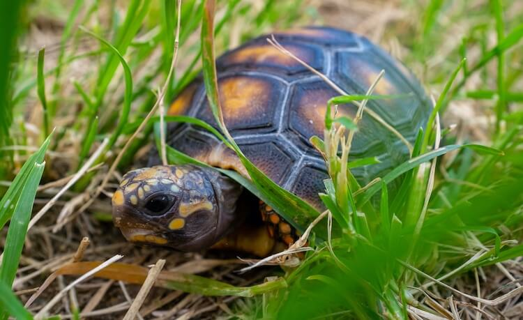 Red-Footed Tortoise Feature