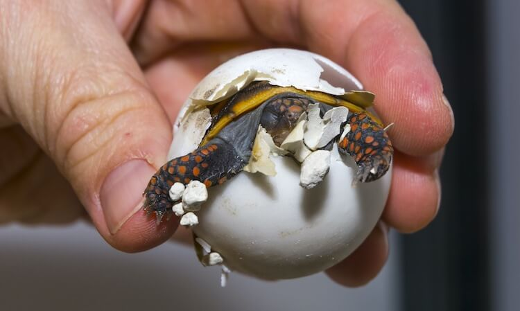 Red-Footed Tortoise Hatching