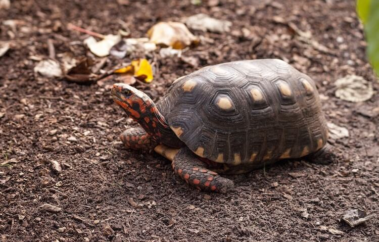 Red-Footed Tortoise In An Enclosure
