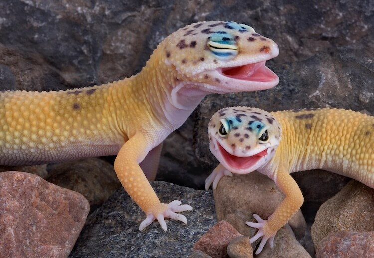 Two Geckos Laughing