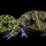 Two Pixie Frogs