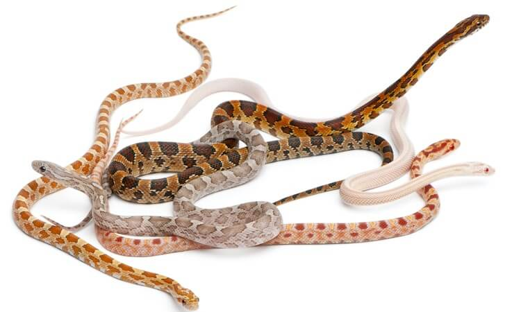 Fancy Corn Snakes