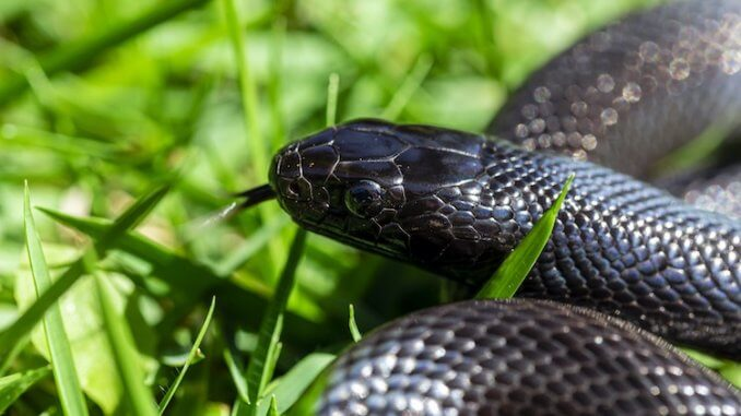 Mexican Black Kingsnake Portrait