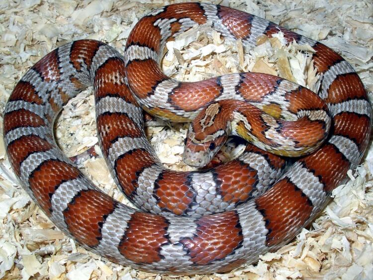 Miami Phase Corn Snake