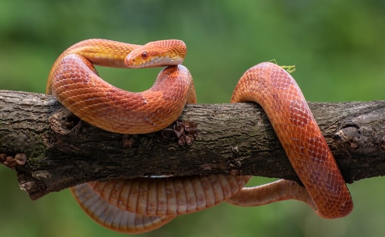 Sunkissed Corn Snake