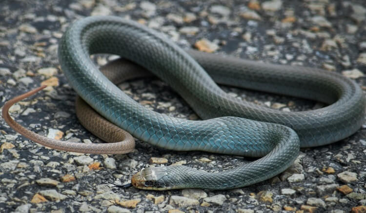 Adult Blue Racer Snake