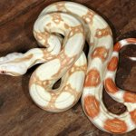 Albino Red Tail Boa