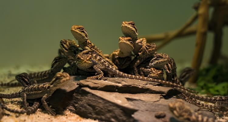 Baby Bearded Dragons
