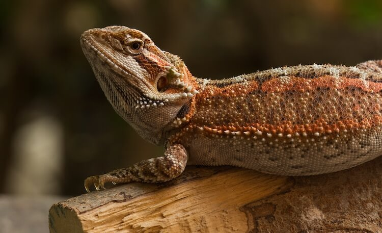 Bearded Dragon Resting On A Log
