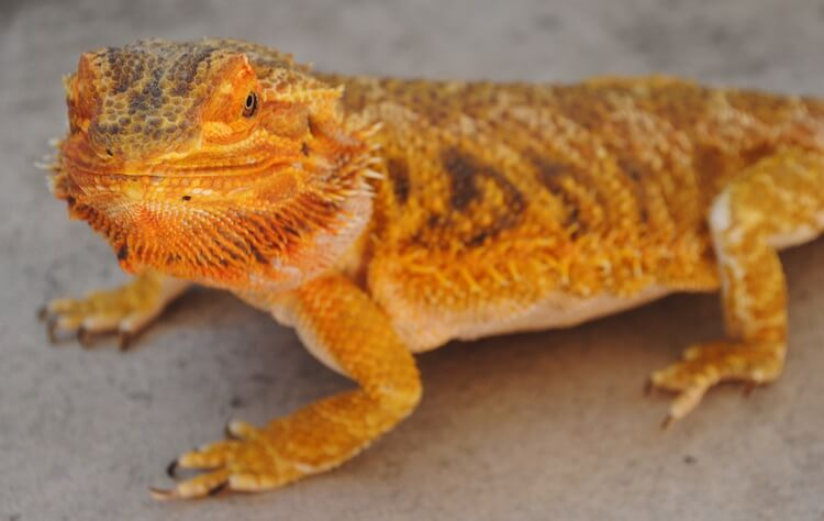 Bearded Dragon With Ceramic Tile Substrate