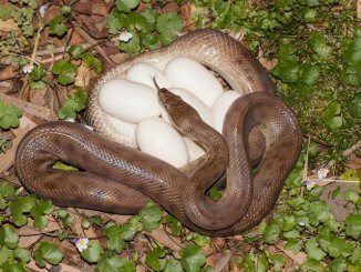 Do Snakes Lay Eggs?