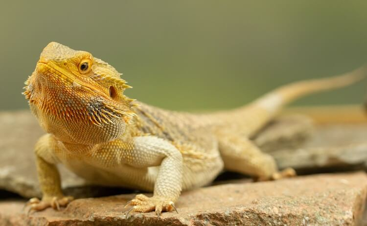 Full Length Adult Bearded Dragon