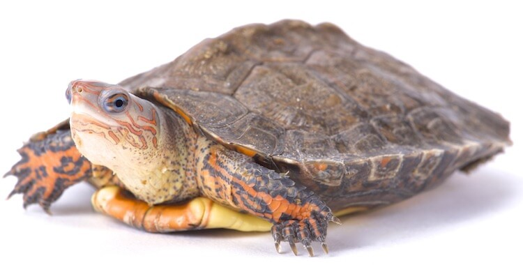 Ornate Painted Wood Turtle