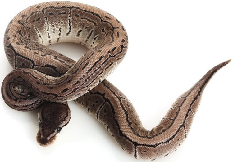 Axanthic Ball Python Snake