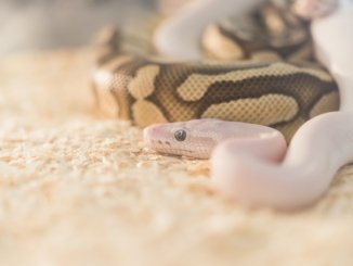 Two Ball Python Snakes After Breeding