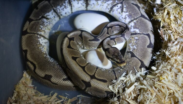 Ball Python Snake With Her Clutch