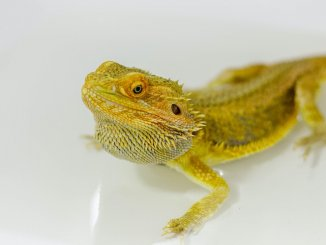 Bathing A Bearded Dragon