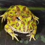 Ornate Pacman Frog