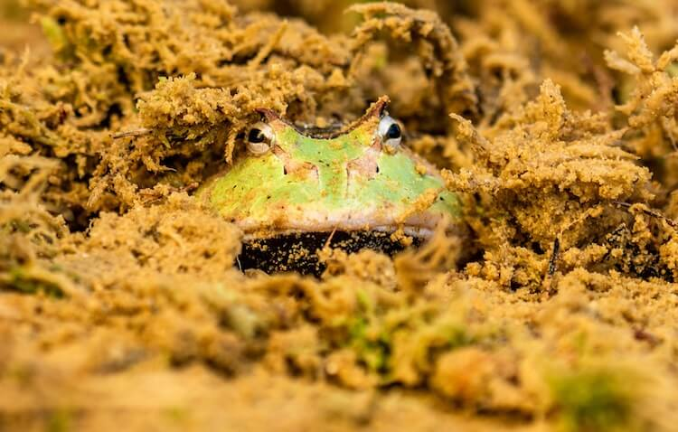 Pacman Frog Burrowing in Substrate