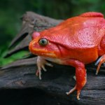 Tomato Frog Sitting On a Branch