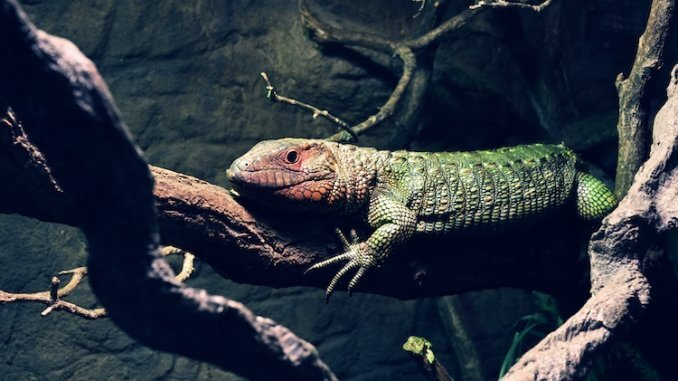 Caiman Lizard Feature