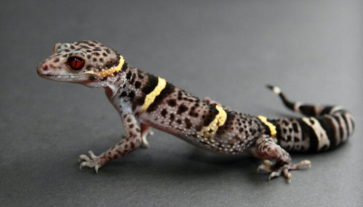 Chinese Cave Gecko
