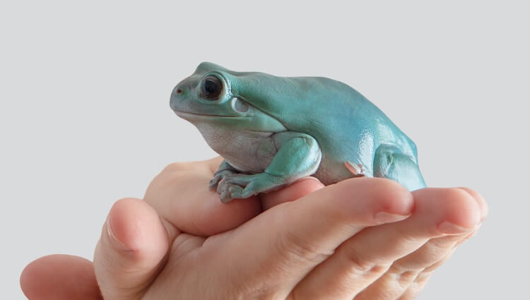 Handling A White's Tree Frog