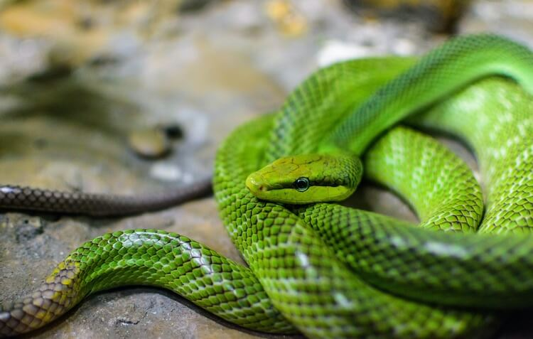 Red-Tailed Green Rat Snake
