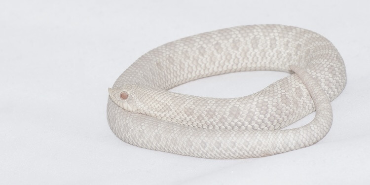 Snow Hognose