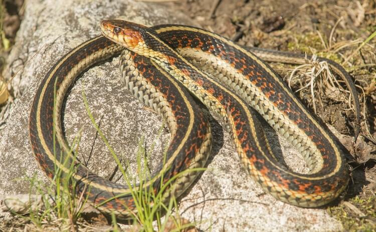 Thamnophis sirtalis