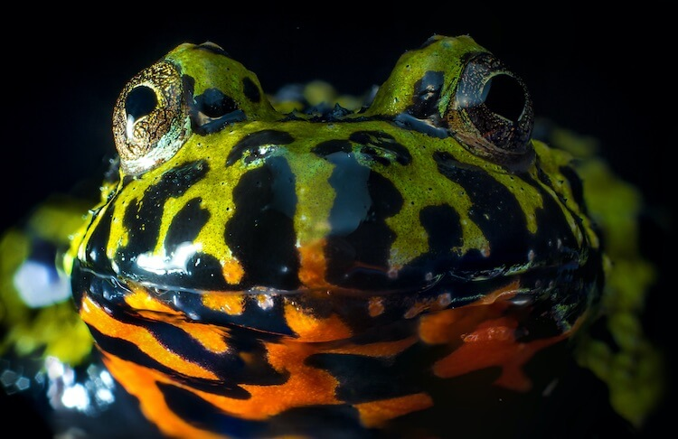 Fire Belly Toad Face