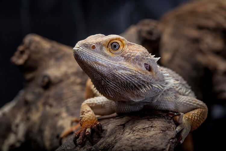 How To Sex A Bearded Dragon