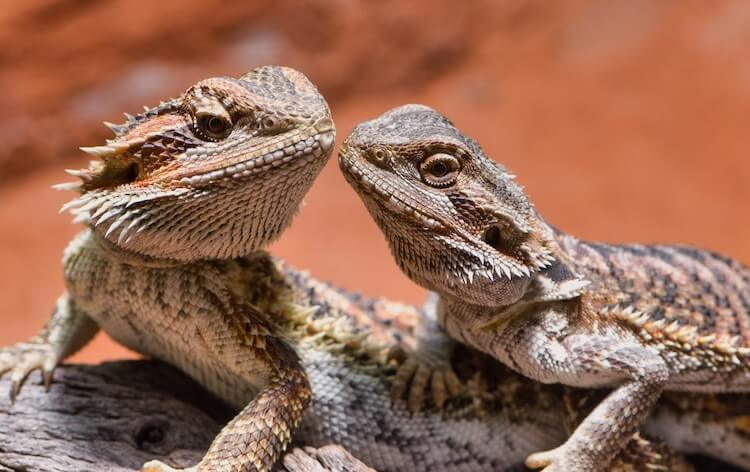 Male and Female Bearded Dragons