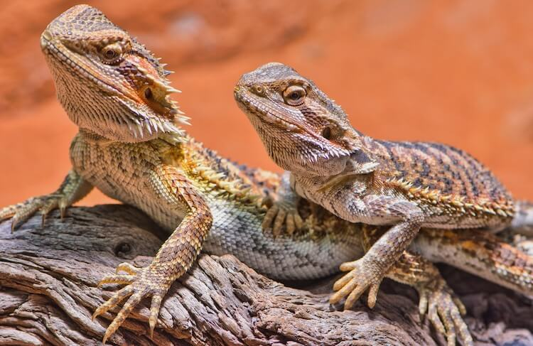 male and female bearded dragon