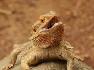 Bearded Dragon Not Eating