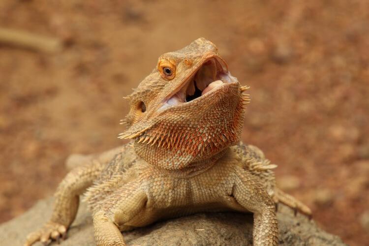 Bearded Dragon Not Eating