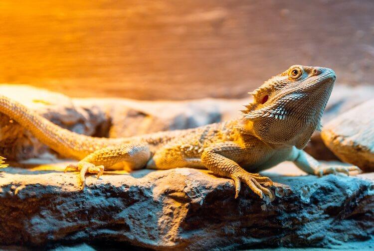 Bearded dragon basking under a heat lamp