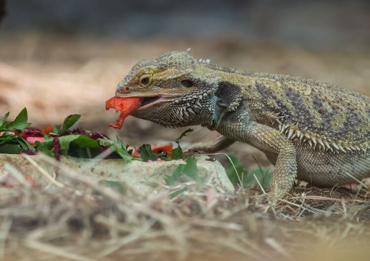 Bearded dragon eating vegetables out of a bowl